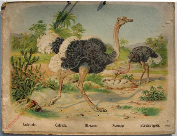 764 - Autruche, Ostrich, Strauss, Struzzo, Struisvogels